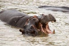 Babyhippo het spelen met moeder in water stock fotografie