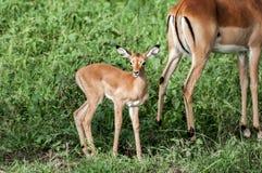 Babyimpala mit Mutter Lizenzfreies Stockbild