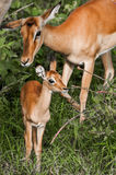 Babyimpala und -mutter Stockfotografie