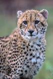 Babyjachtluipaard in het Nationale Park van Kruger stock fotografie