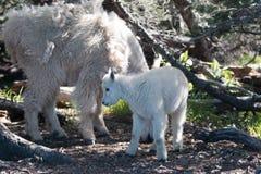 Babyjong geitje en Moederkindermeisje Mountain Goats onder de struiken op Orkaanheuvel in Olympisch Nationaal Park in Washington  Royalty-vrije Stock Foto