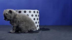 Babykätzchen, das in einem runden Kasten sich versteckt stock video footage