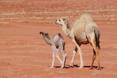 Babykameel met moeder die op woestijn lopen Stock Foto's