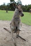 Babykangoeroe Joey in de zak van het mamma royalty-vrije stock fotografie
