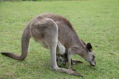 Babykangoeroe Joey in de zak van het mamma royalty-vrije stock foto