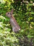 Babykaninchen in einem Devon-Garten Stockfotografie