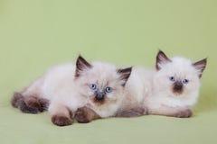 Babykat Stock Foto