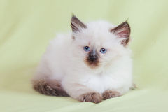 Babykat Royalty-vrije Stock Foto