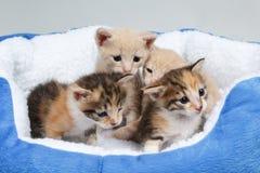 Babykatjes Royalty-vrije Stock Afbeeldingen