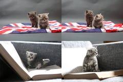 Babykatjes die op het tapijt en met de vlag van Groot-Brittannië spelen, multicam Stock Foto