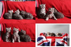 Babykatjes die op rode achtergrond spelen, multicam Royalty-vrije Stock Foto