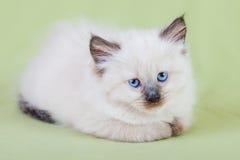 Babykatze Stockfoto