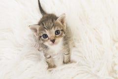 Babykatze der drei-Wochen-alte getigerten Katze, die auf einem weißen Pelz oben sitzen gesehen von einer hohen Winkelsicht schaut Stockbild