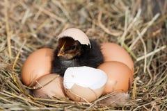 Babykip met gebroken eierschaal en eieren in het stronest Stock Foto's