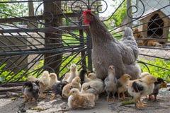 Babykip met hun kip Royalty-vrije Stock Afbeeldingen
