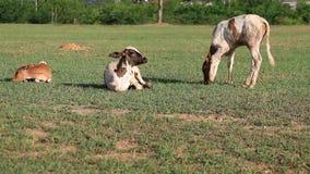 Babykoe op gebied van gras stock videobeelden