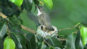 Babykolibri, der zum Erstflug fertig wird stock video