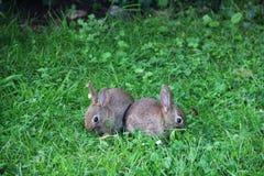 Babykonijnen in gras Stock Afbeeldingen