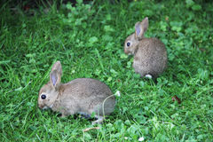 Babykonijnen in gras Royalty-vrije Stock Afbeeldingen