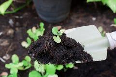 Babykopfsalatblätter auf Schaufel Stockfotografie