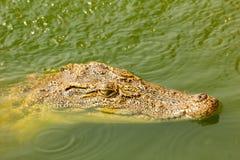 Babykrokodilschwimmen Überwasser im wilden Lizenzfreie Stockfotos