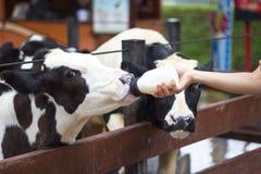 Babykuh, die auf Milchflasche einzieht Lizenzfreies Stockfoto