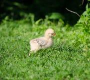 Babykuiken die in het gras lopen Stock Afbeeldingen
