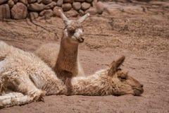 Babylama die naast zijn rustende moeder liggen royalty-vrije stock afbeeldingen