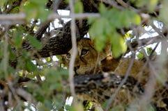Babyleeuw die op een boom in het Nationale Park van Ruaha, Tanzania rusten Stock Fotografie