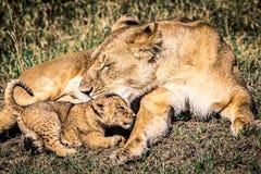 Babyleeuw met moeder Stock Foto