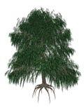 Babylon eller tårpil, salixbabylonicaträd - stock illustrationer