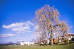 Babylon willow in spring. In Germany Royalty Free Stock Photography