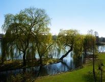 Babylonica del Salix de los sauces que lloran en la orilla de un lago en imagenes de archivo
