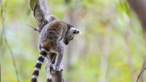 Babymaki die op een boomtak springen in Madagascar Stock Afbeelding