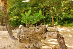 BabyMandelbäume an einem karibischen Strand Stockbild