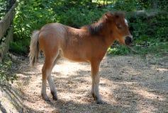 Babyminiaturpferd Stockbild