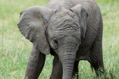 Babyolifant Stock Afbeeldingen