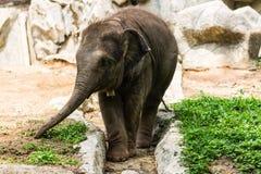 Babyolifant in Chiangmai-Dierentuin, Thailand Stock Foto