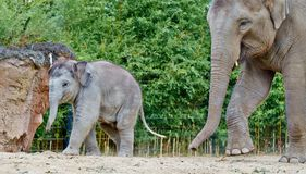 Babyolifant die met mama lopen stock afbeeldingen