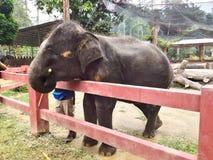 Babyolifant die suikerriet eten Royalty-vrije Stock Afbeelding
