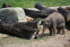 Babyolifant (Elephas-maximus) Royalty-vrije Stock Afbeelding
