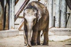 Babyolifant het spelen met een logboek van hout Royalty-vrije Stock Foto's