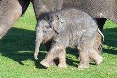 Babyolifant naast Moeder Stock Afbeelding