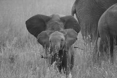 Babyolifant op gebied met zijn familie royalty-vrije stock foto