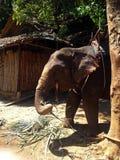 Babyolifant voor toeristen in Thailand royalty-vrije stock foto's