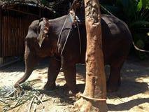 Babyolifant voor toeristen in Thailand stock afbeeldingen