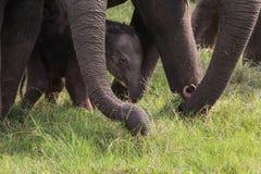Babyolifanten door de ouders worden beschermd die royalty-vrije stock afbeelding