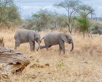 Babyolifanten, het Nationale Park van Tarangire, Tanzania, Afrika Royalty-vrije Stock Fotografie