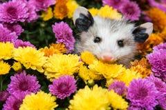 Babyopossum royalty-vrije stock foto