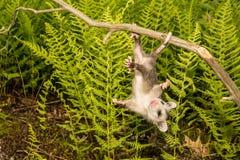 Babyopossum stock afbeeldingen